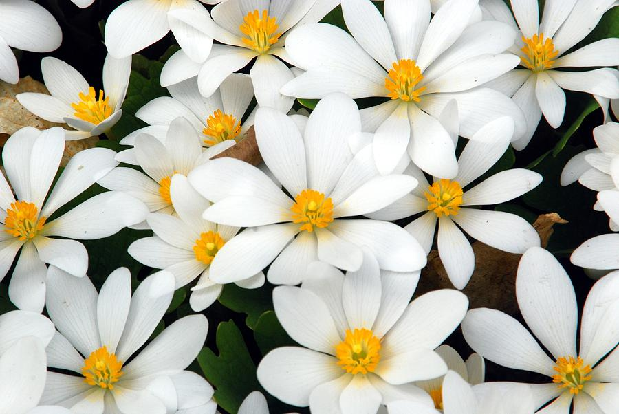 Bloodroot Photograph - Bloodroot Blooms by Cascade Colors