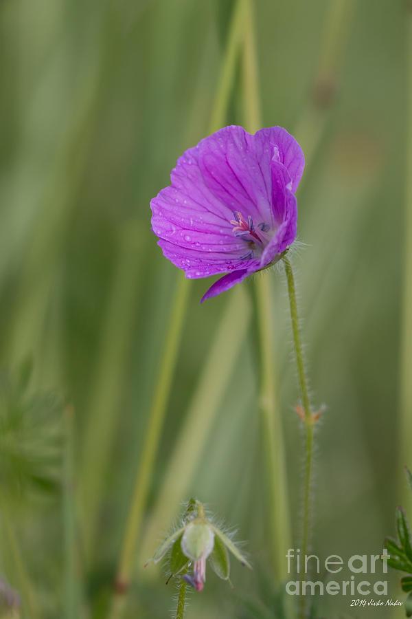 Bloody Cranesbill Photograph - Bloody Cranesbill Flower by Jivko Nakev
