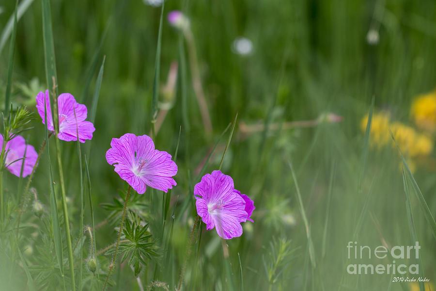 Bloody Cranesbill Photograph - Bloody Cranesbill Wild Flowers by Jivko Nakev
