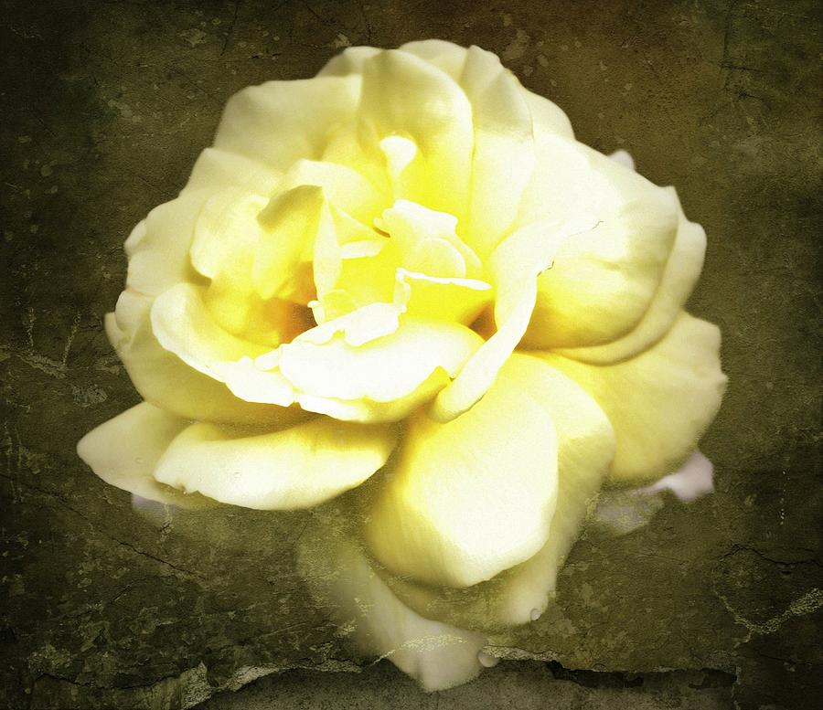 Yellow Roses Photograph - Bloom In Full by Cathie Tyler