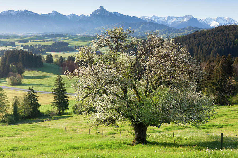 Blooming Apple Tree In A  Meadow Photograph by Ingmar Wesemann