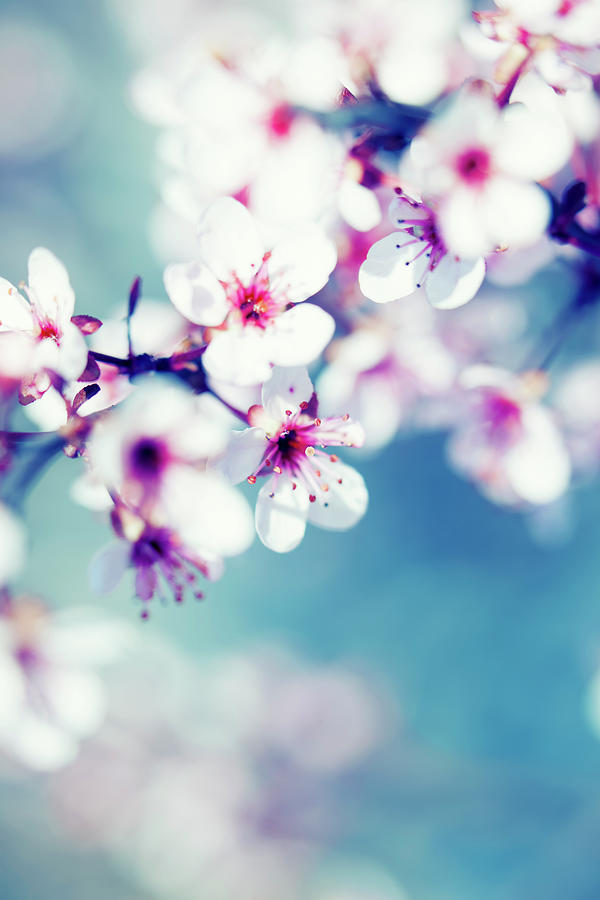 Blooming Cherry Tree Photograph by Pawel.gaul