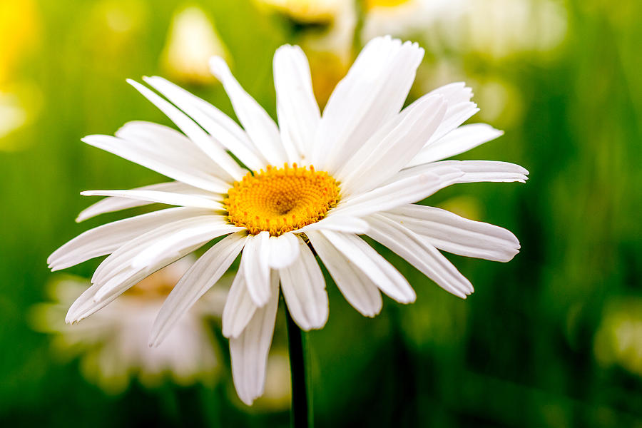 Blooming Daisy Photograph