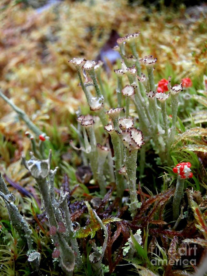 Lichen Photograph - Blooming Lichen by Steven Valkenberg
