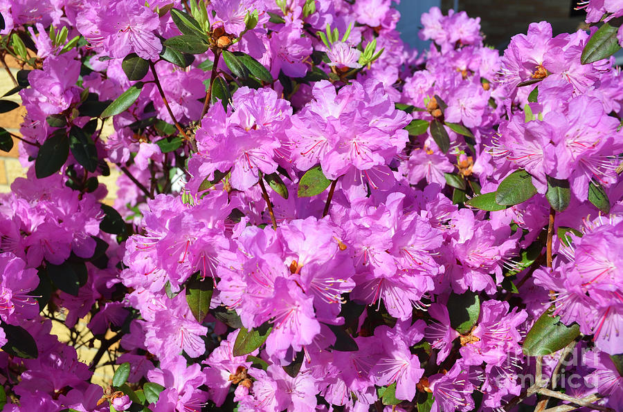 Bloom Photograph - Blooming Pink Azaleas by Luther Fine Art