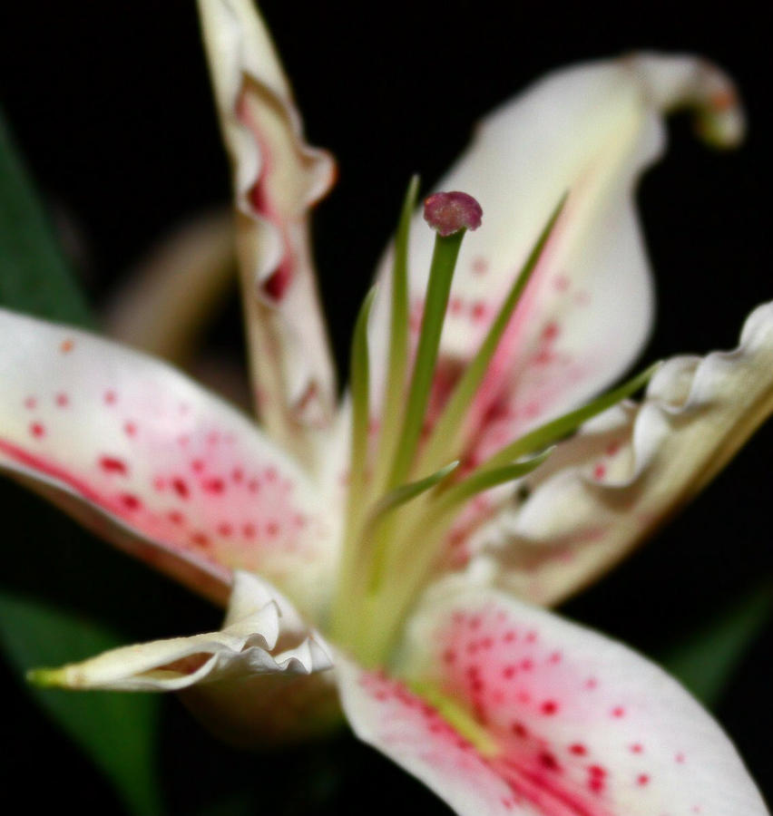 Stargazers Photograph - Blooming Stargazer by Cathie Tyler