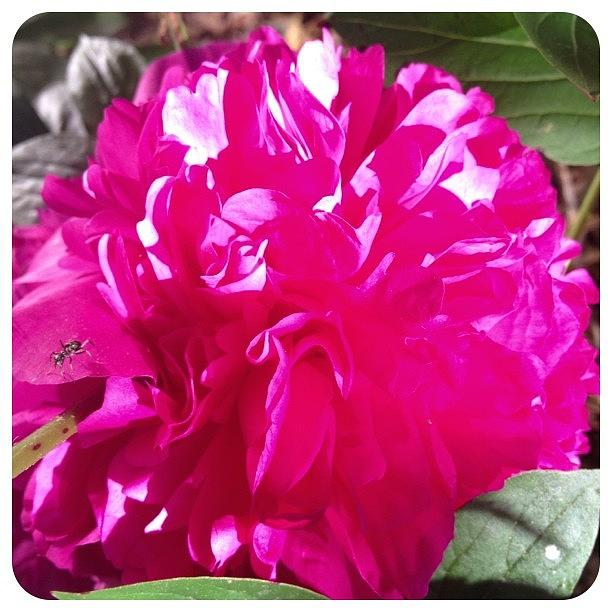 Flower Photograph - Blooming Today. #peony #flower #bloom by Teresa Mucha
