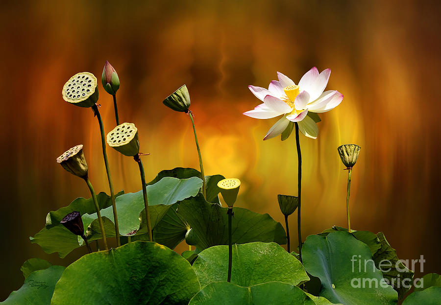 Lotus Photograph - Blooming White Lotus Flower by Gabriele Pomykaj