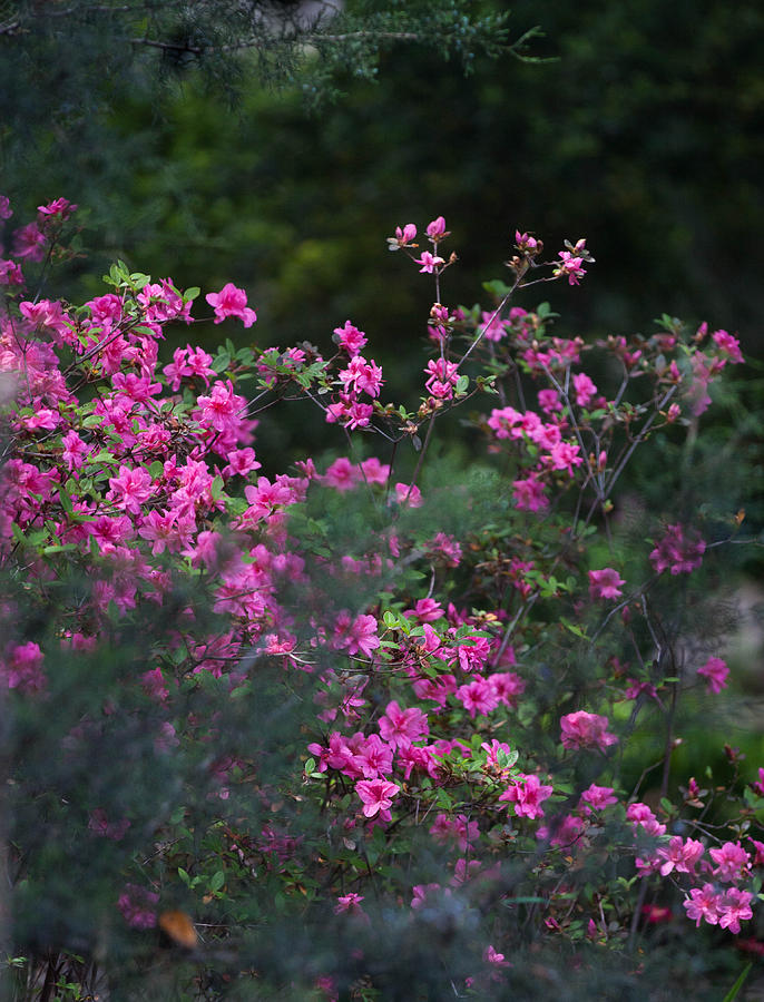 Flowers Photograph - Blooms Of Pink by Lezlie Faunce