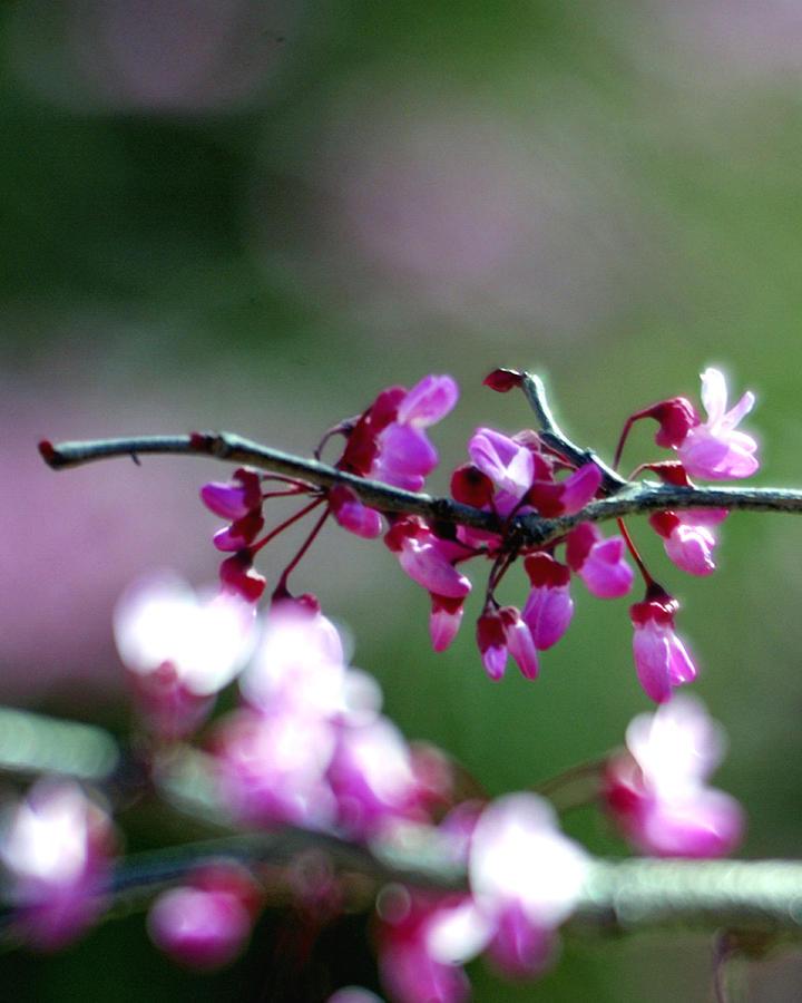 Blossom 25895 Photograph