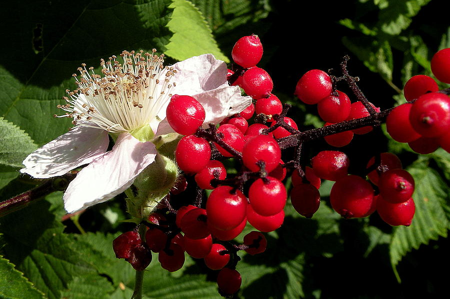 Photographs Photograph - Blossom And Berries by Brian Chase