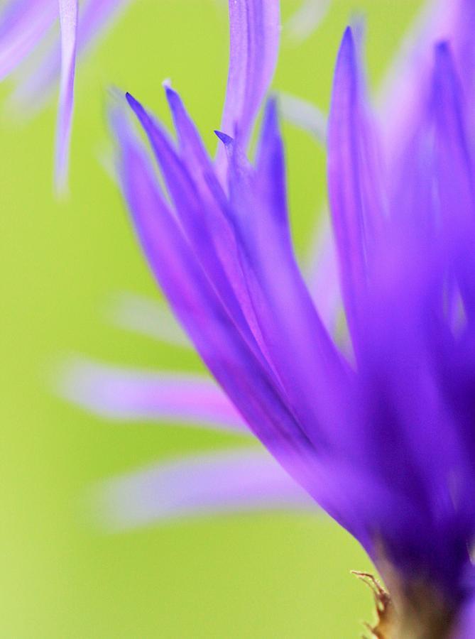 Purple Photograph - Blossom Macro by Kim Thompson