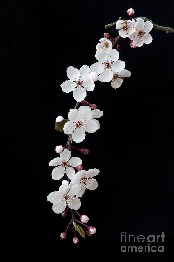 Prunus Photograph - Blossom On Black by Tim Gainey