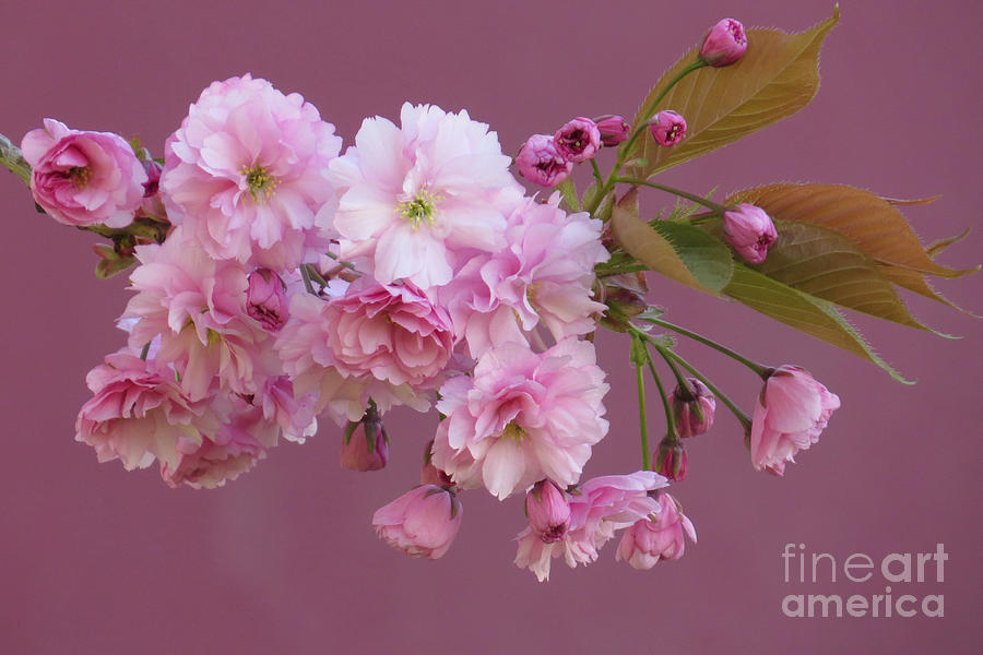 Cherry Tree Photograph - Blossom Standouts by Frank Townsley