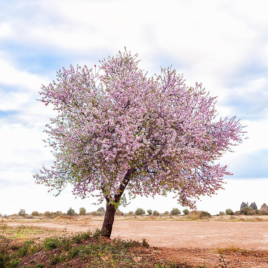 Blossoming Pink Almond Tree Prunus Photograph by Maika 777