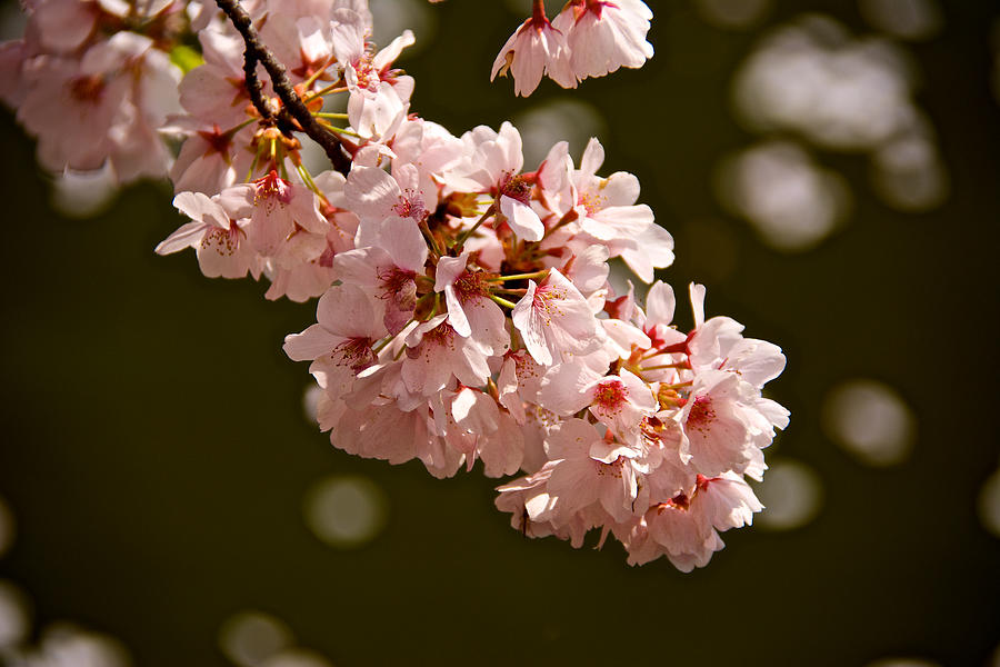 Capitol Photograph - Blossoms And Petals by Kathi Isserman