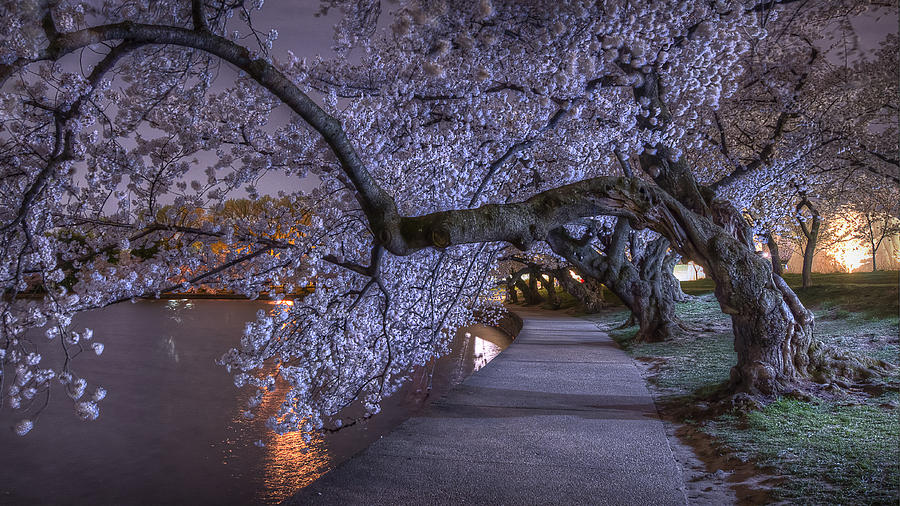 Blossoms at Night by Michael Donahue