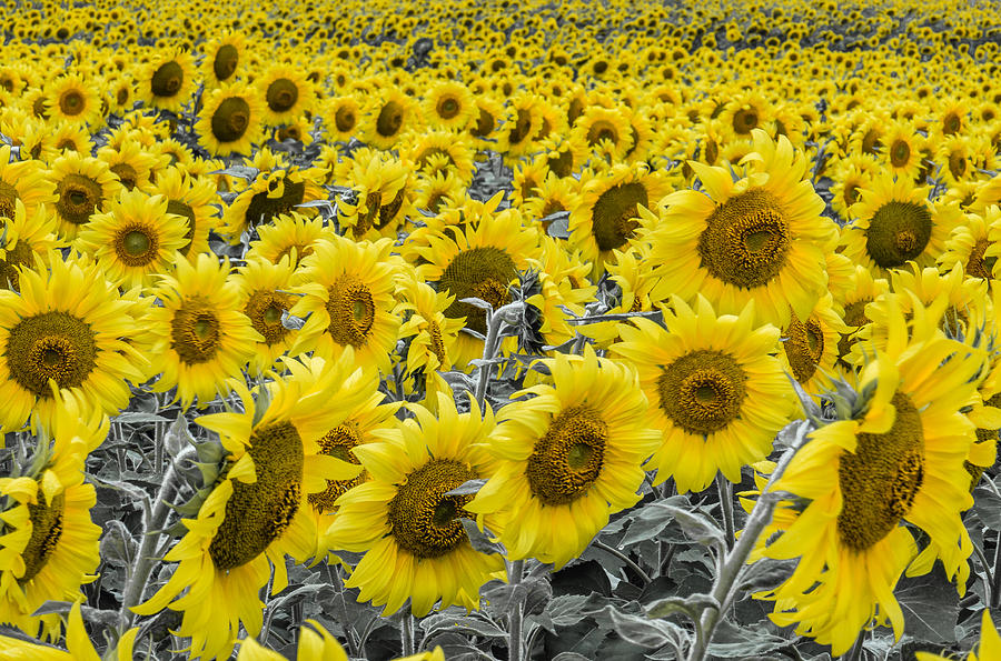 Color Photograph - Blossoms Only Sunflowers by Thomas Pettengill