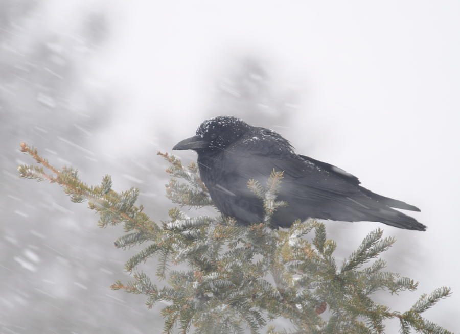 Crow   Wind   Snowstorm Photograph - Blowin In The Wind - Crow by Sandra Updyke