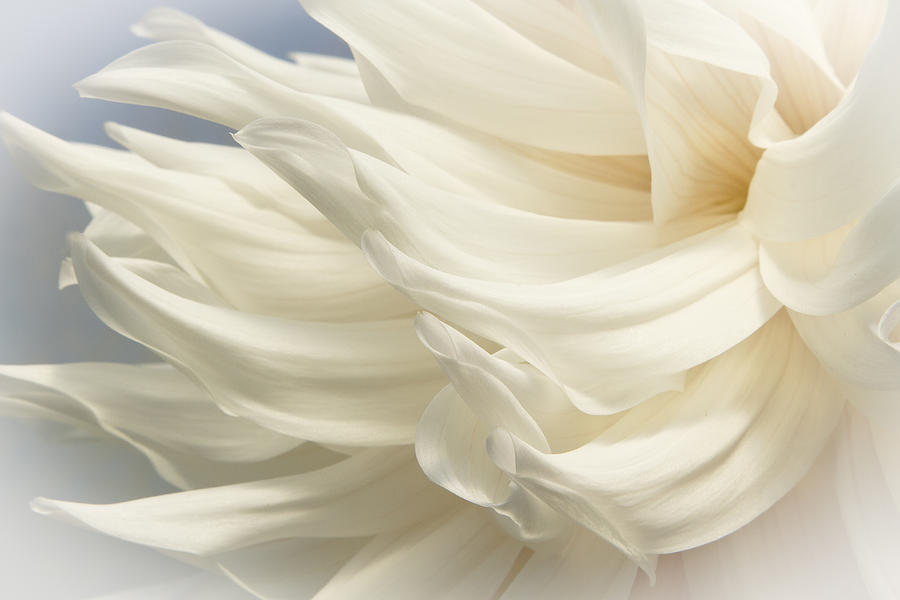 Dahlias Photograph - Blowing In The Wind by Marilyn Cornwell