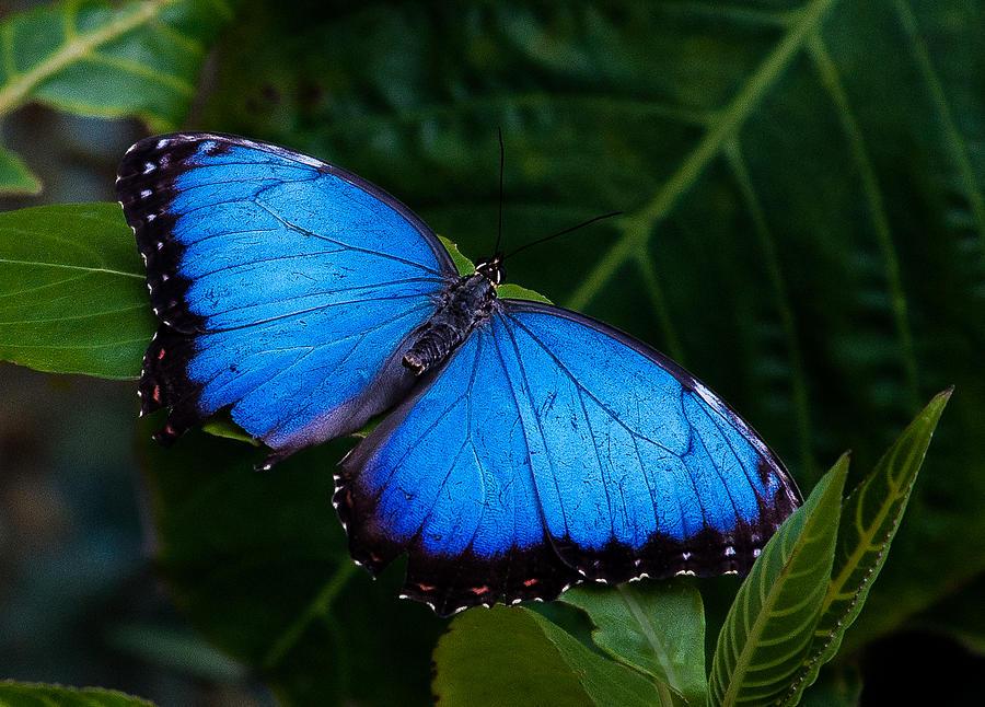 Butterflies Photograph - Blue And Black On Green by Karen Stephenson