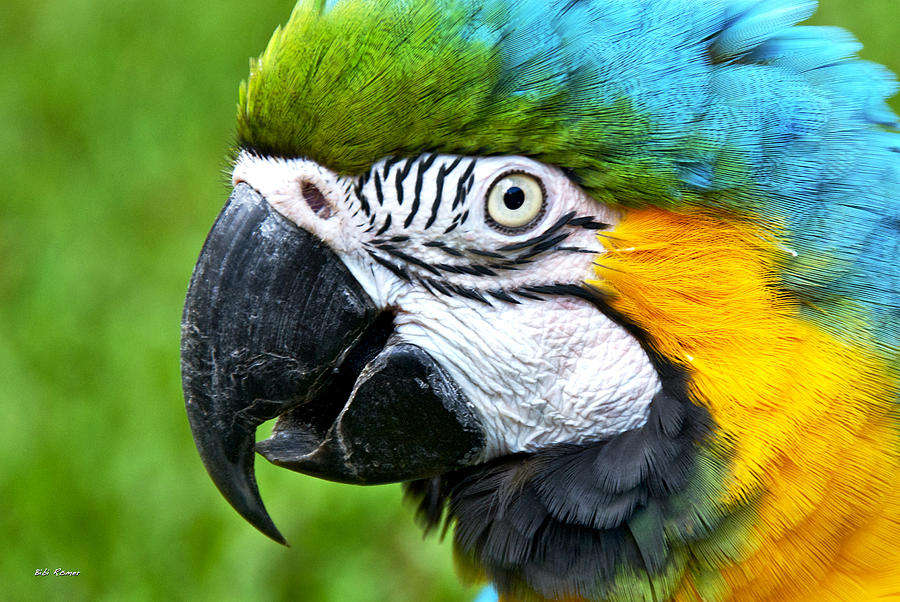 Blue and Yellow Macaw by Bibi Rojas