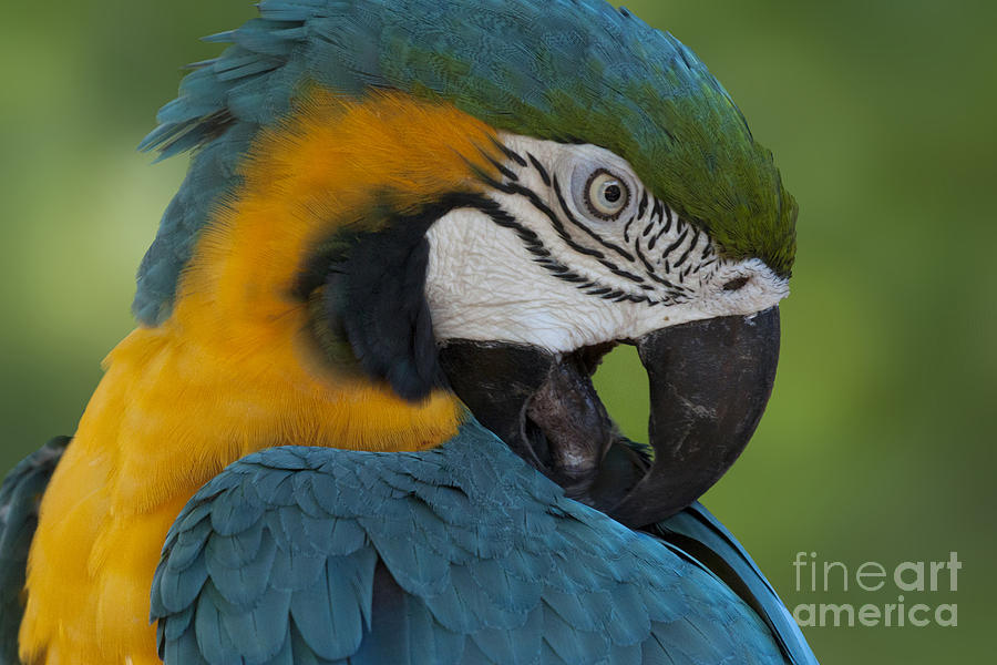 Blue and Yellow Macaw Parrot by Meg Rousher