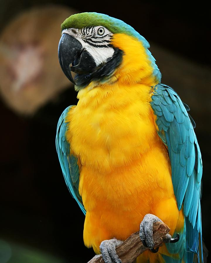 Blue And Yellow Macaw Photograph By Regina Williams