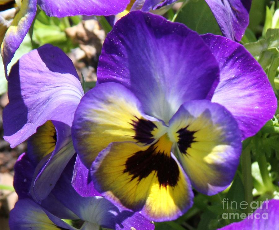 Flower Photograph - Blue And Yellow Pansies by Cathy Lindsey