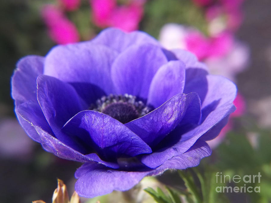 Flower Photograph - Blue Anemone by Sue Andrus