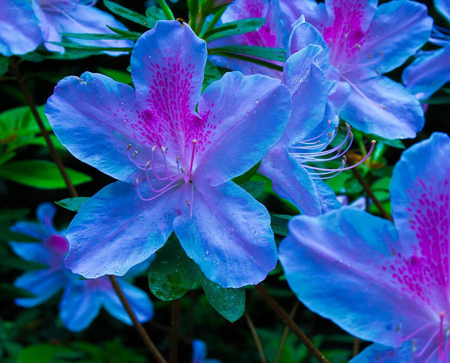 blue azaleas photograph by allyson jones