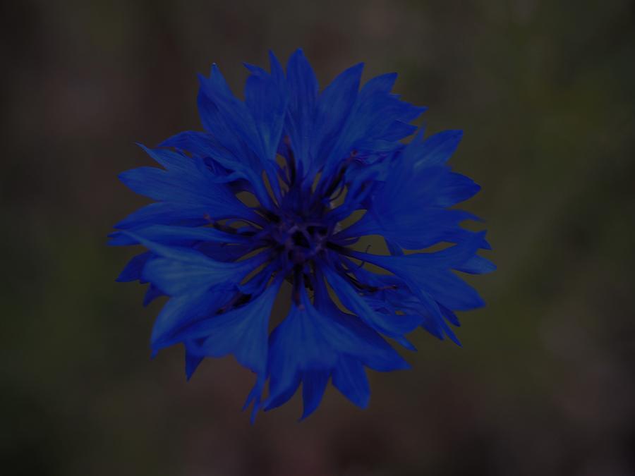 Flowers Photograph - Blue Bell by Mark Ball