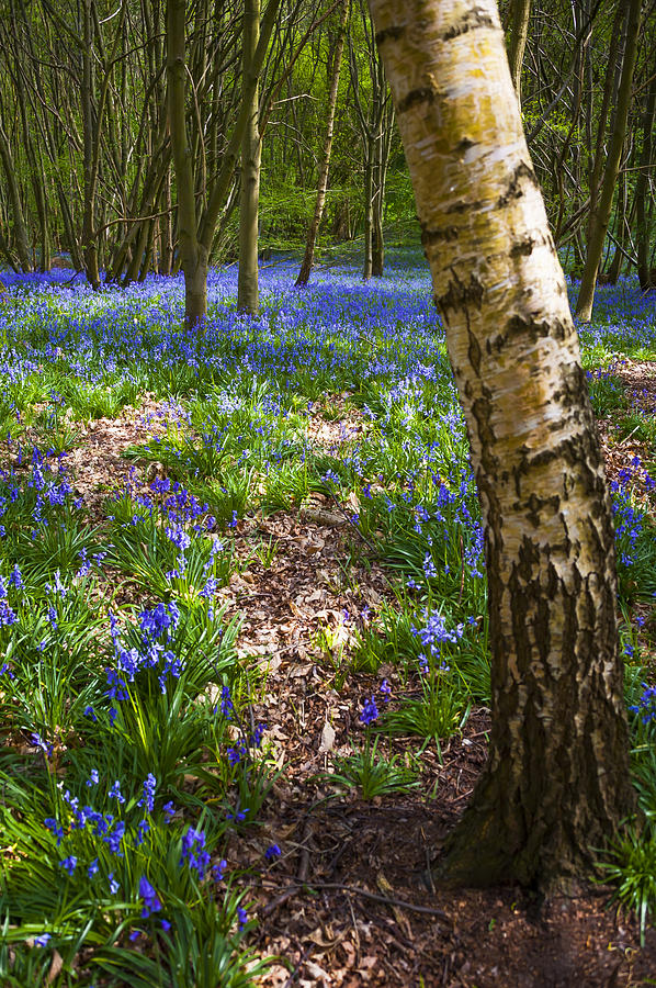 Beautiful Photograph - Blue Bells Path by Svetlana Sewell