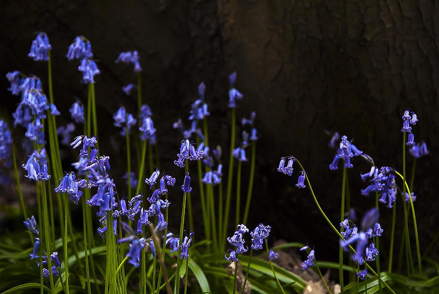 Beautiful Photograph - Blue Bells by Svetlana Sewell