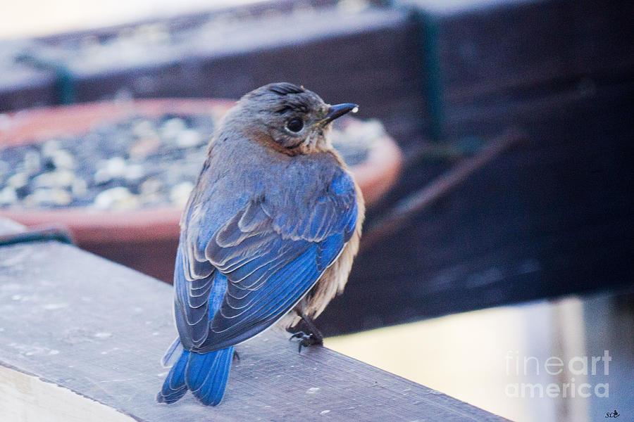 Blue Bird 3 Photograph