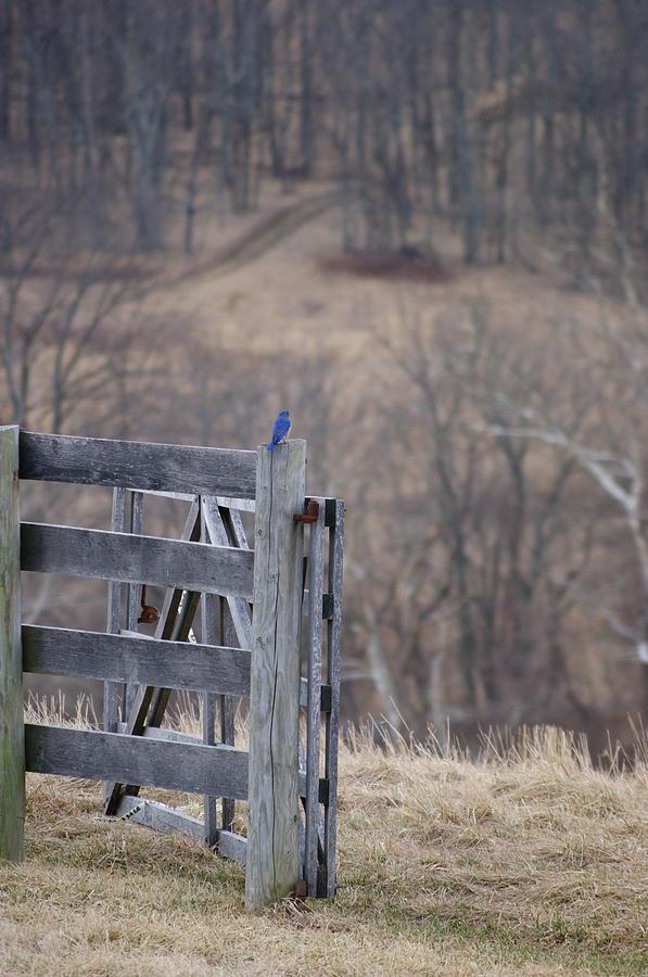 Nature Photograph - Blue Bird by Heidi Poulin