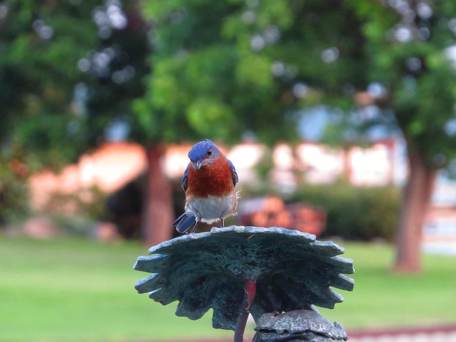 Blue Bird Photograph - Blue Bird - Im Looking At You Kid by Ella Kaye Dickey