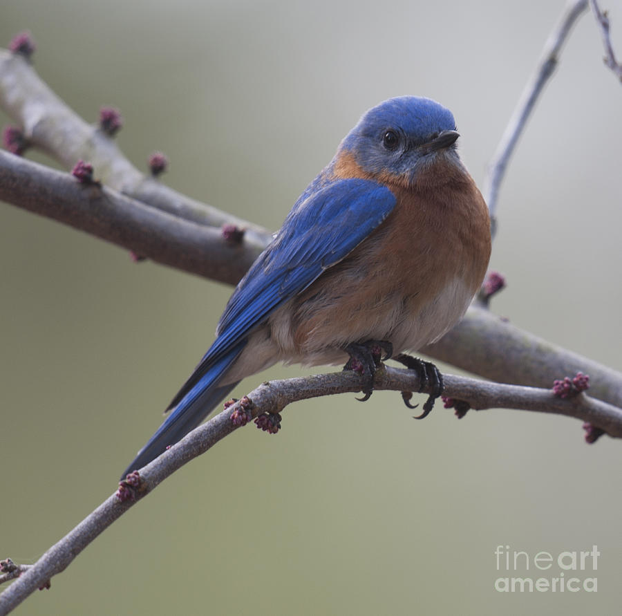 Blue Bird Of Happiness Photograph