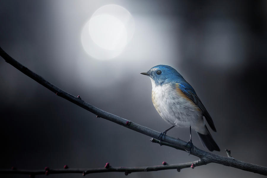 Bird Photograph - Blue Bird by Takashi Suzuki