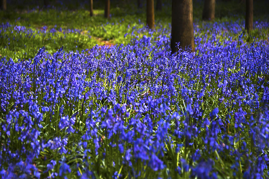 Beautiful Photograph - Blue Blue Bells by Svetlana Sewell