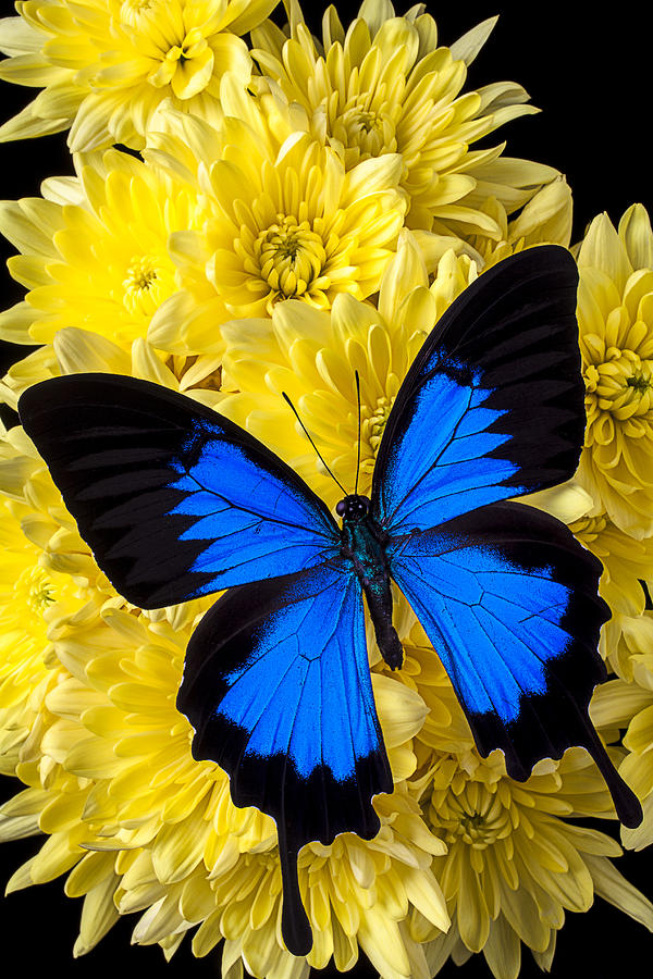 Close Up Photograph - Blue Butterfly On Poms by Garry Gay