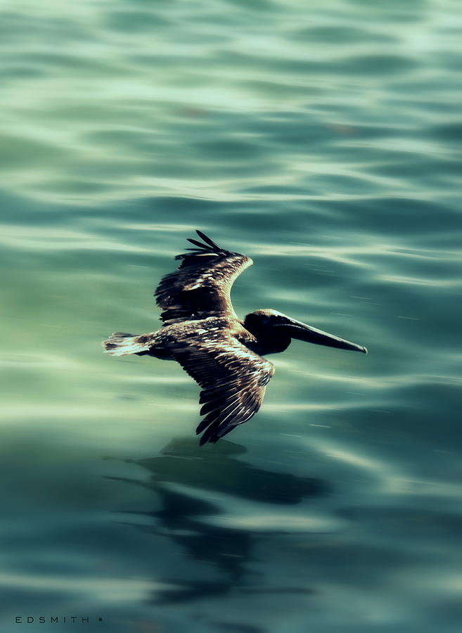 Pelican Photograph - Blue Canvas by Ed Smith