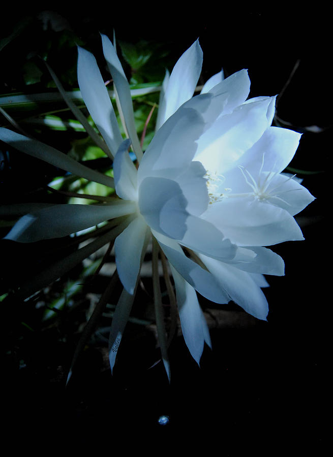 Nature Photograph - Blue Cereus by Vallee Johnson