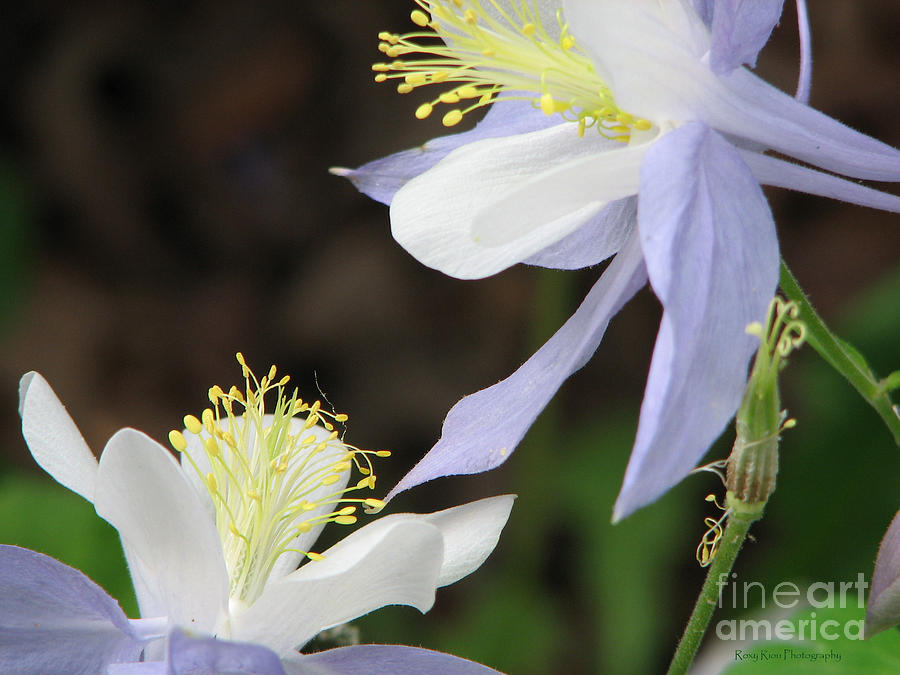 Columbine Flower Photograph - Blue Columbine by Roxy Riou