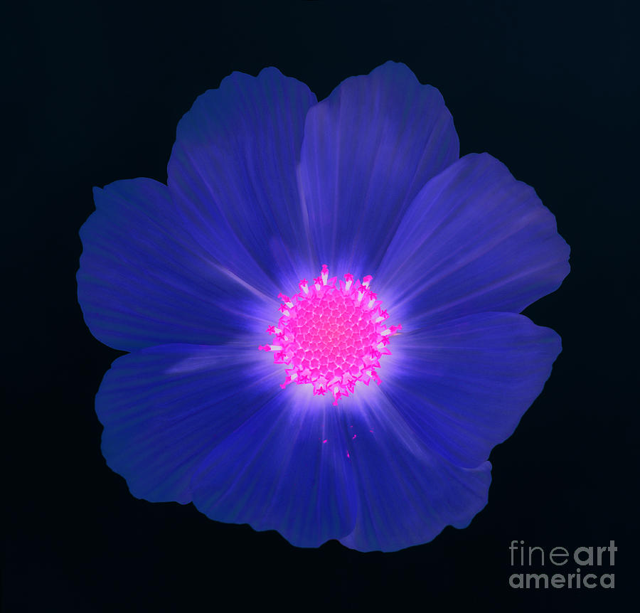 Blue Cosmos Flowers | www.pixshark.com - Images Galleries ...