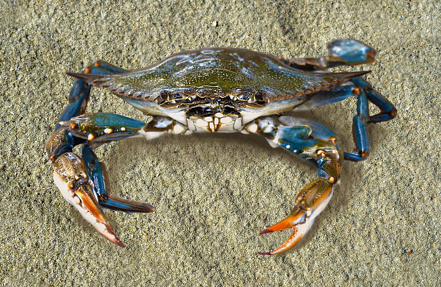 Blue Crab Photograph - Blue Crab Confrontation by Sandi OReilly