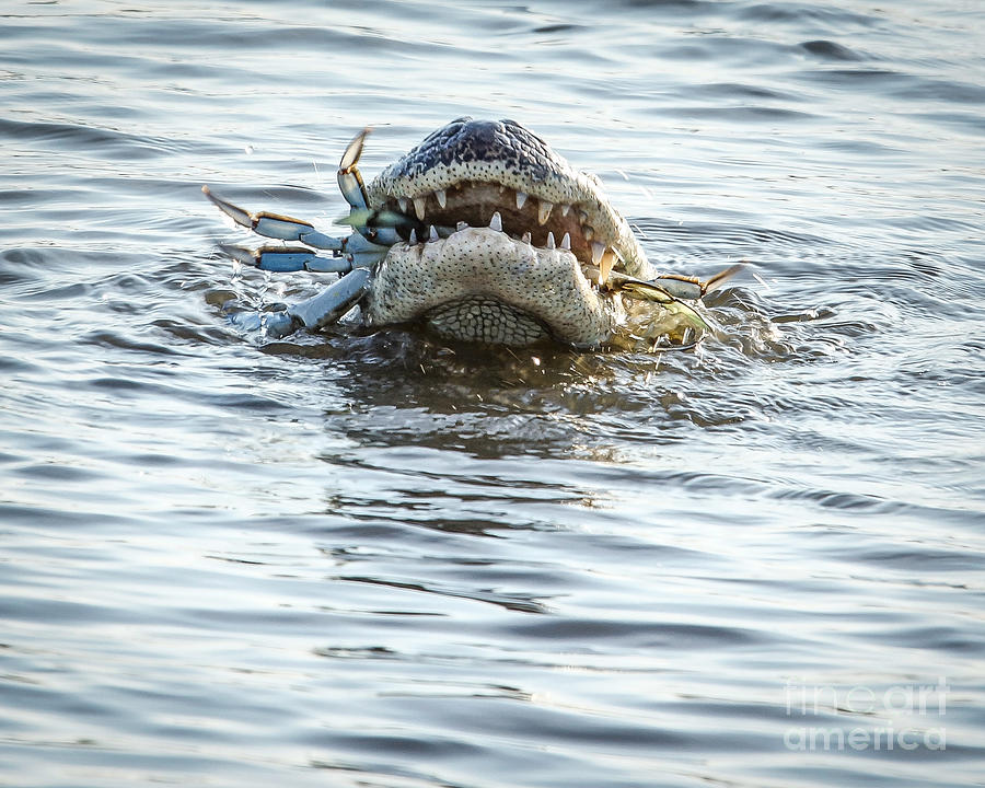 Nature Photograph - Blue Crab Dinner by Matthew Trudeau