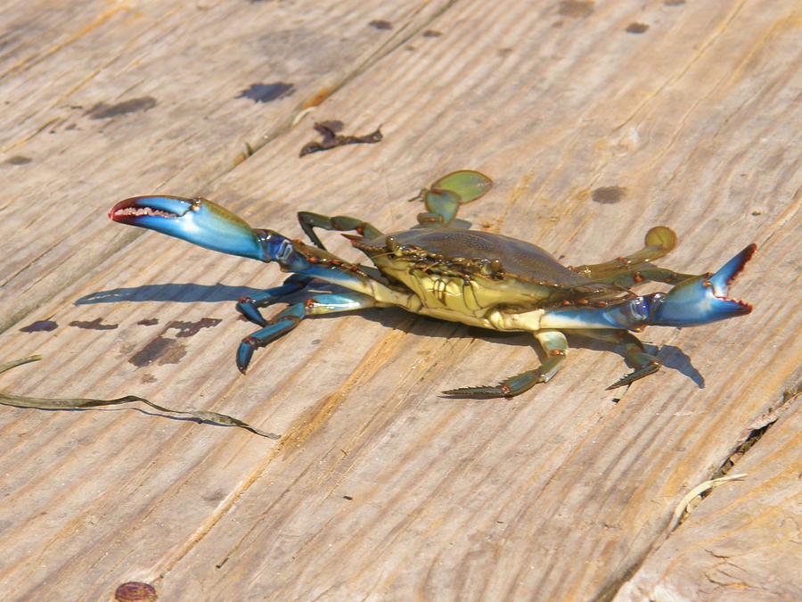 Blue Photograph - Blue Crab On Dock Assateague Island Md by Sven Migot