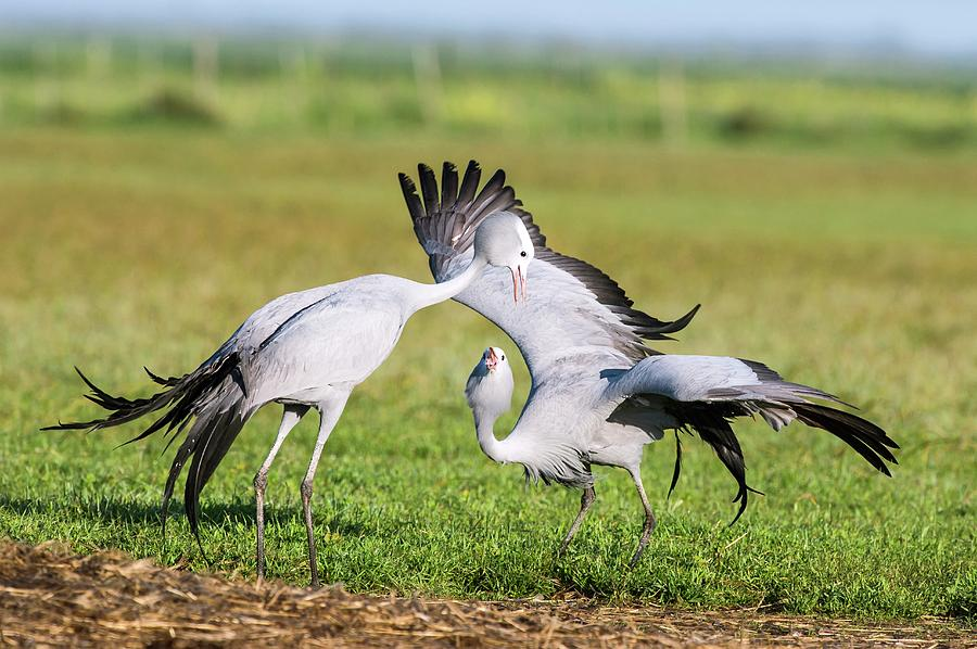 Animal Photograph - Blue Cranes by Peter Chadwick
