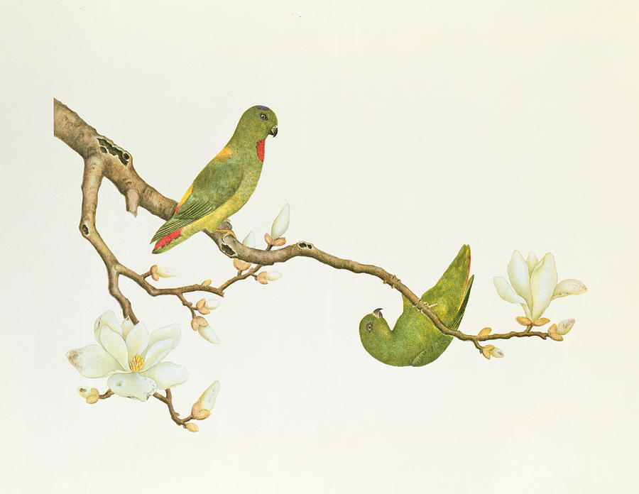 Blue Crowned Parakeet Hannging On A Magnolia Branch